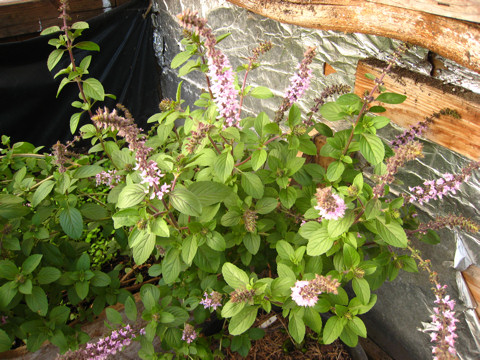 African Blue Basil is kept in our cold frame.