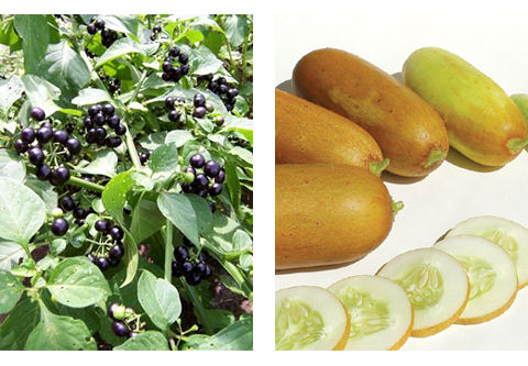 Wonderberry and Poona Kheera Cucumber