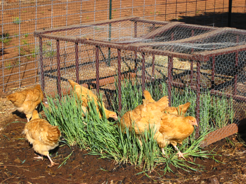 Chickens feasting on hulless oats in our chicken garden