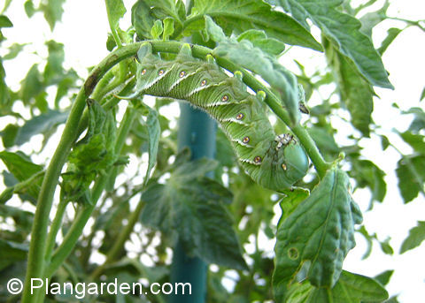 Well-camouflaged tobacco hornworm can be a garden menace!