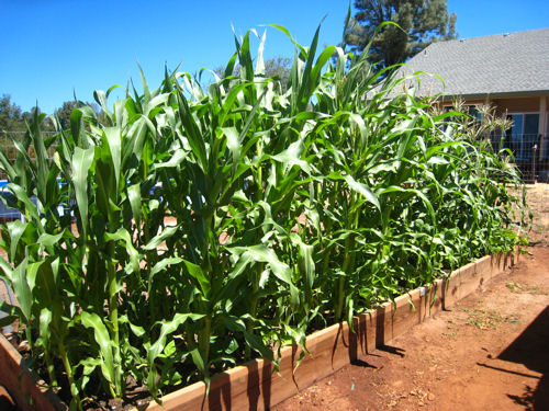 Corn provides trellis for pole beans