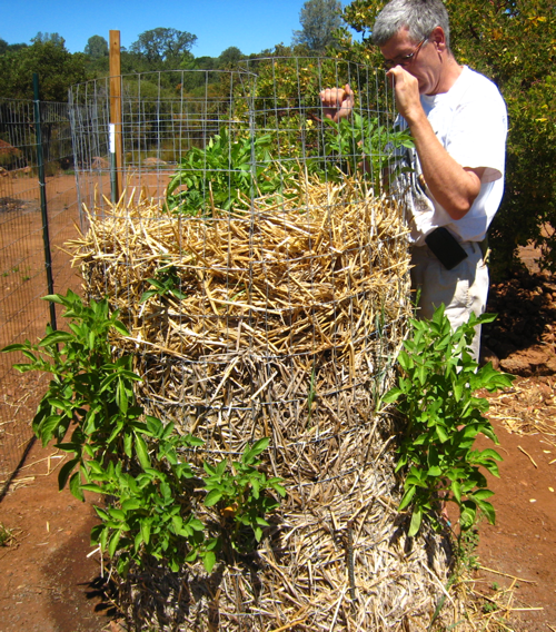 Roy inspecting our potato tower which is beginning to blossom!
