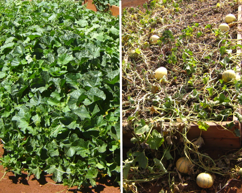 Melon patch in mid-July vs. late Aug.