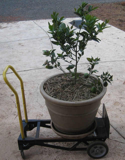 Meyer Lemon tree on dolly